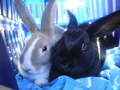 My pet rabbit Goldie and my brothers rabbit,Flopsy