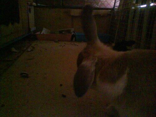 My pet rabbit,Goldie