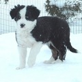 Border Collie Pup In Snow - dogs photo