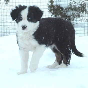 Border collie Pup In Snow