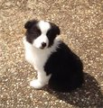 Border Collie Puppy - dogs photo
