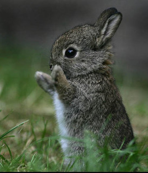 Baby Bunny images Bunny ^^ wallpaper and background photos ...