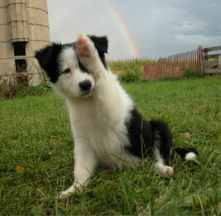 Collie Under a Rainbow