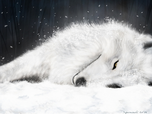white wolf - wolves Wallpaper