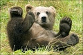 Bears - the-animal-kingdom photo