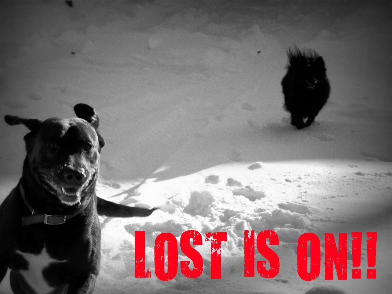 Dogs love LOST too