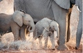 Elephants - the-animal-kingdom photo