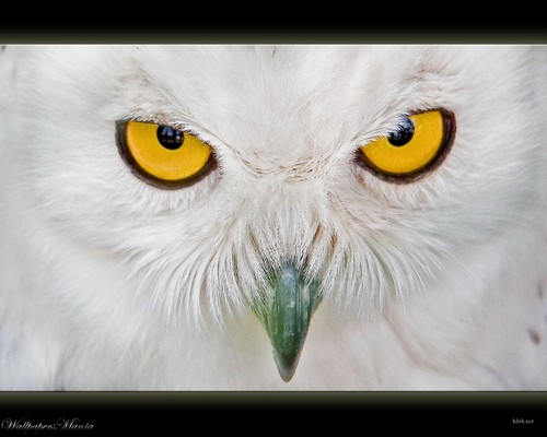 Wild Animals wallpaper possibly containing a great horned owl titled Golden Eyes