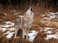 Howling - wild-animals wallpaper