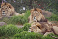 Lion Wallpaper - the-animal-kingdom photo