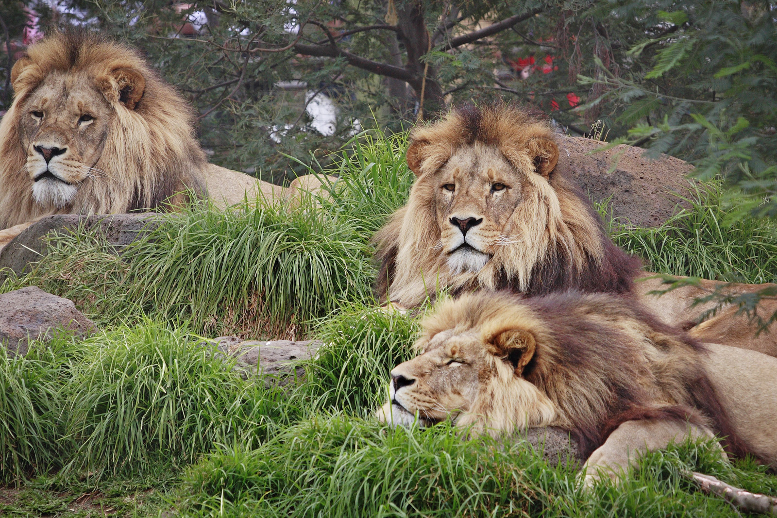 The Animal Kingdom Lion Wallpaper