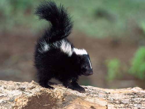 Wild Animals wallpaper possibly containing a skunk entitled Pew