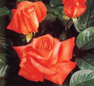 The Cary Grant Rose