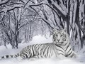 wild-animals - Tiger wallpaper