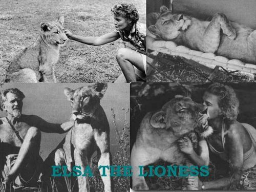 Elsa The 母狮, 雌狮