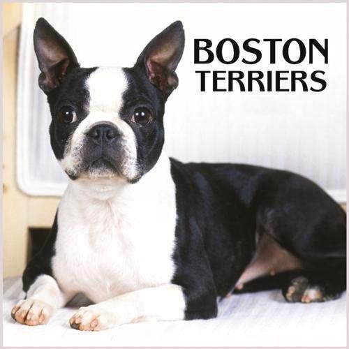 Boston Terriers Images Terrier Wallpaper And Background Photos
