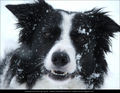 Charlie - border-collie photo