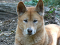 Dingo - dingo photo
