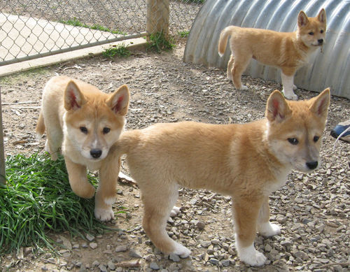 Gorgeous Dingo Pups - dingo Photo