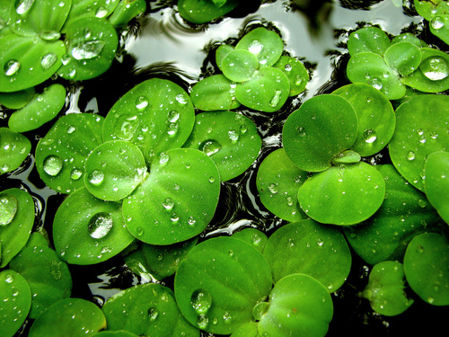 Green wallpaper with common duckweed, a vinifera, and duckweed entitled Green Lilies wallpaper