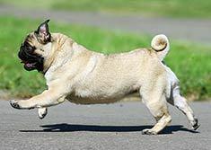 Run Pug!Run!