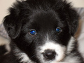 Gemma border collie pup