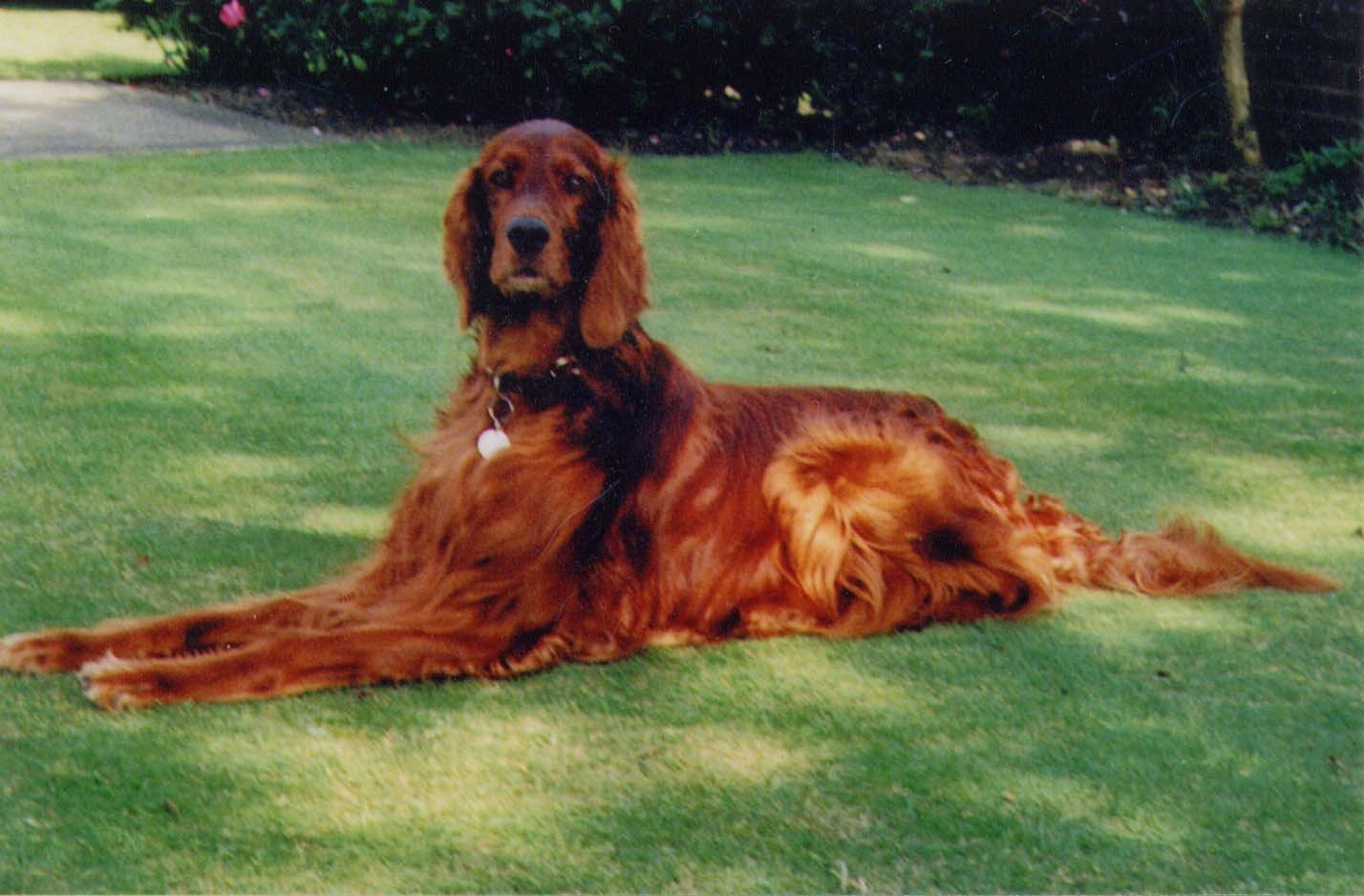 Irish Setter Service Dog