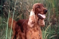 Irish Setter Photo