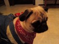 my pug jeter on Dia das bruxas