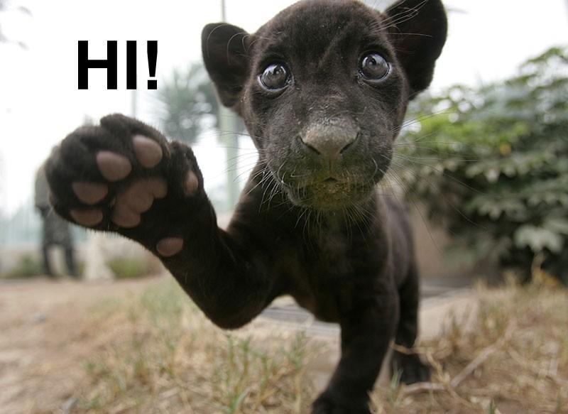http://images2.fanpop.com/images/photos/4000000/Black-Baby-Jaguar-animal-humor-4047741-800-583.jpg