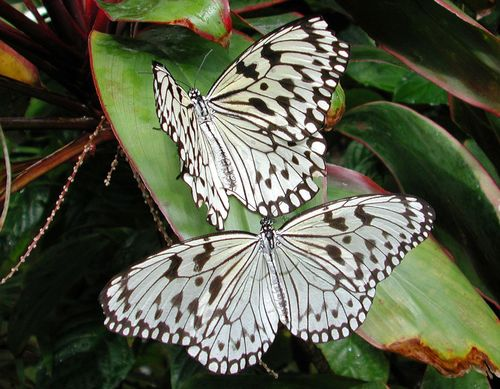 Black and white mariposas