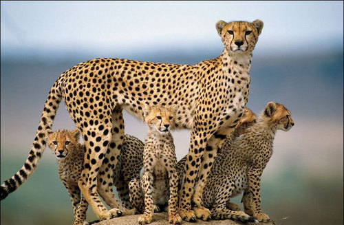 Cheetah Family - wild-animals Screencap
