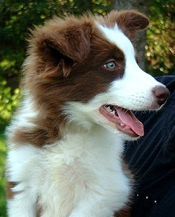 Georgeous red merle border koli