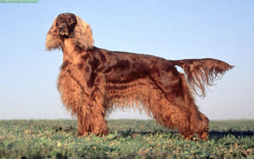 Irish Setters wallpaper containing an irish setter titled Irish Setter Wallpaper