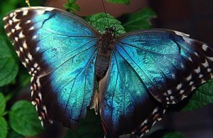 Butterflies wallpaper titled Metalic Blue Butterfly
