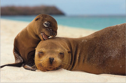 Wild Animals wallpaper with a south american sea lion and a sea lion entitled Seals