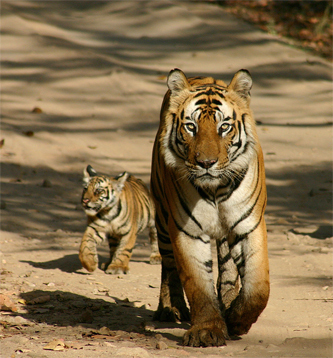 Cute tiger pictures - photo#19