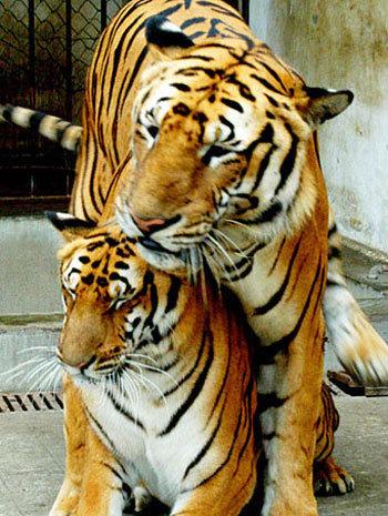 cute tiger pics