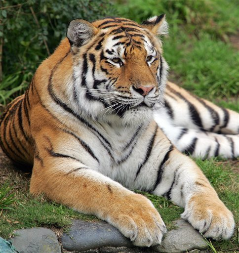 royal bengal tiger images download