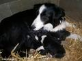 Border collie mum and her pups - dogs photo