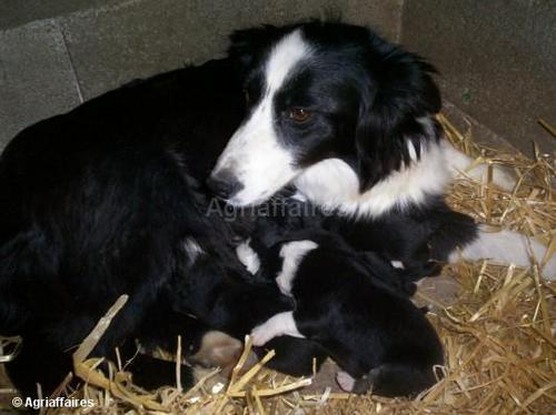 Border collie mum and her pups
