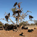 Goats that climb trees - unbelievable photo