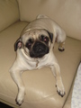 my baby candy - pugs photo