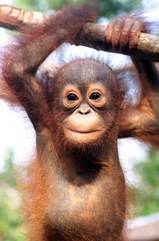 Orangutans Images Orangutan Hd Fond Décran And Background Photos