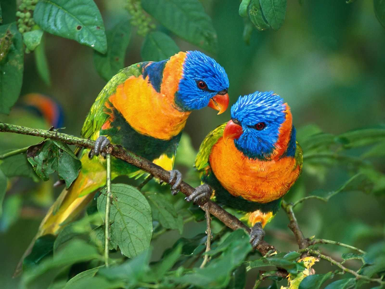 Parrots images 2 parrots hd wallpaper and background Pictures of birds