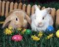 2 Rabbits - bunny-rabbits wallpaper