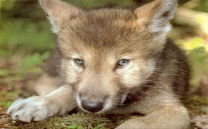 Alaba's 狼 Pups