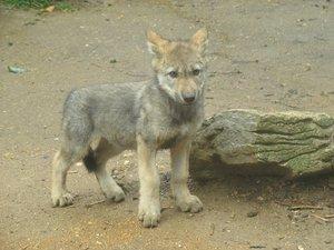 Alaba's wolf Pups