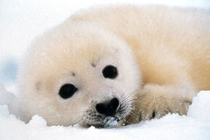 Wild Animals wallpaper possibly with a harp seal entitled Baby Seal