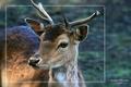 Buck - wild-animals photo